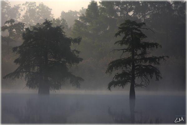 Swamp Cypress (les cyprès chauves)