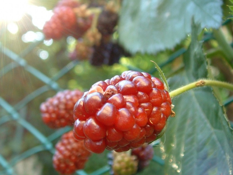 00295::Blackberries B-side