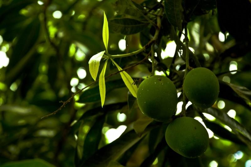 Of Rain and a Mango Tree !