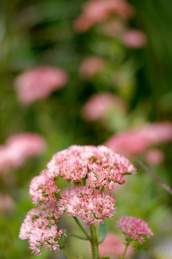 Pink Fluff