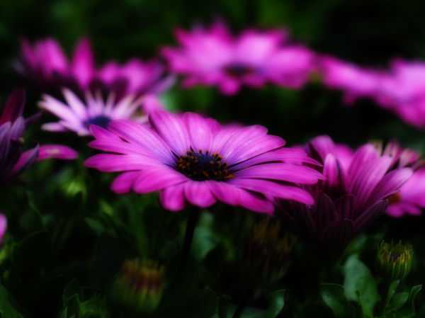 African daisy's purple light
