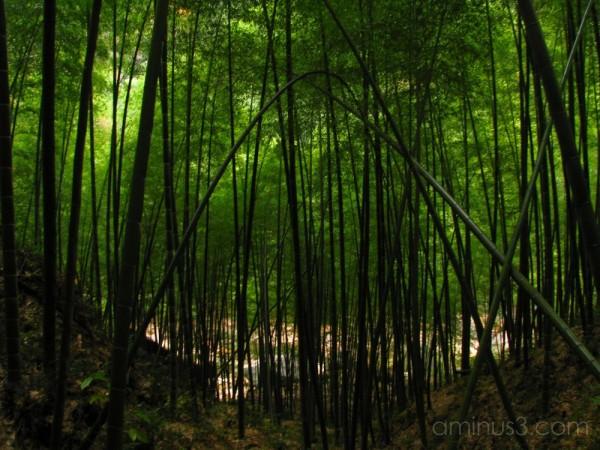 China, Anhui, Jade Village, Bamboo