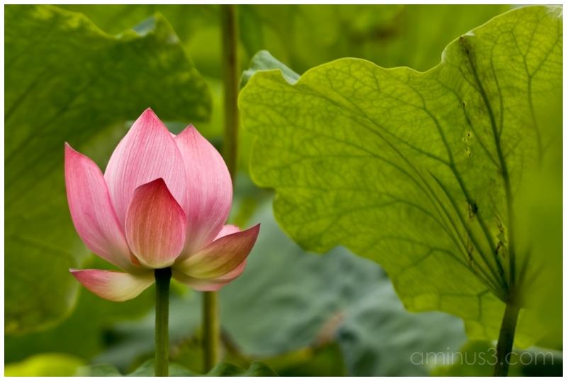 HangZhou, Lotus