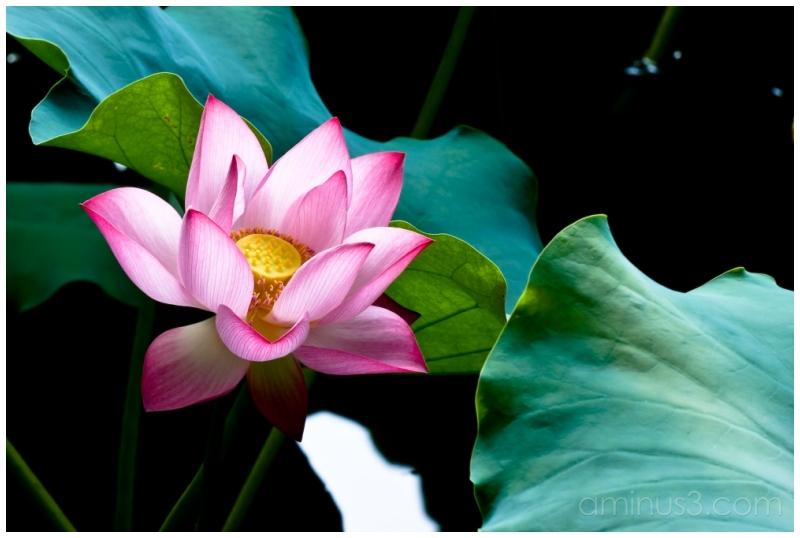 China, HangZhou, XiWu, Lotus