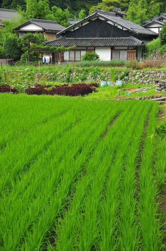 Rice field (田んぼ), 4