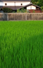 Summer Rice Field, 7