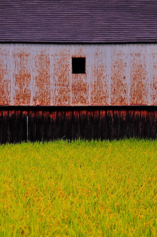 Rice Field and Shed