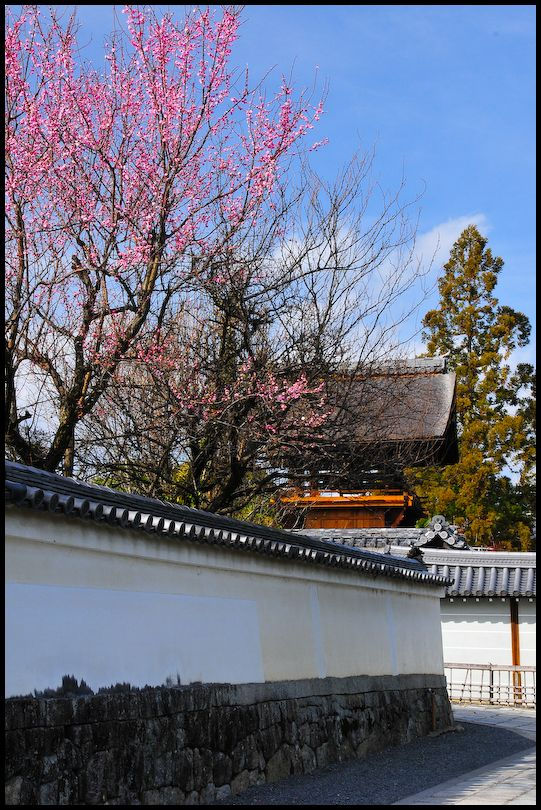 Plum Blossoms, Myoshinji Temple (妙心寺)