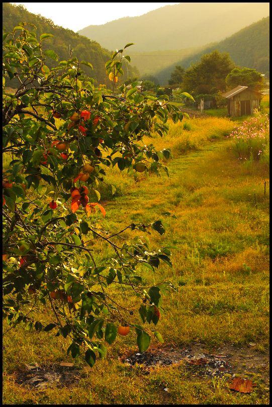 Hints of Autumn: Persimmon
