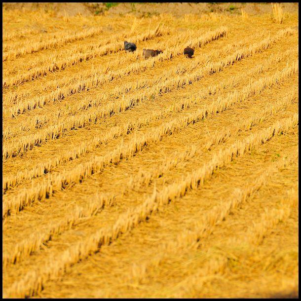 Hints of Autumn: Rice Harvest