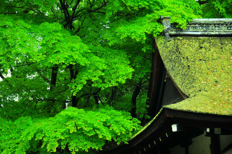 Sacred Spaces: Spring's Caress (河合神社)