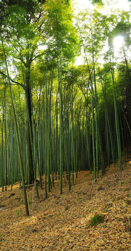 Bamboo, Late Afternoon