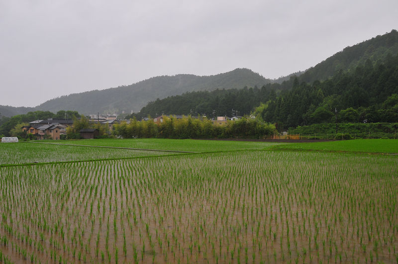 Rainy Day Rice Fields