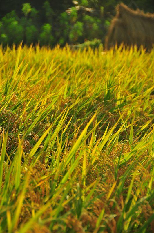 Rice Harvest, 2