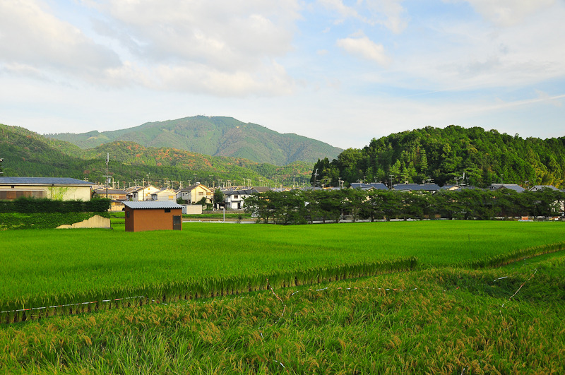 Late Summer Rice Fields