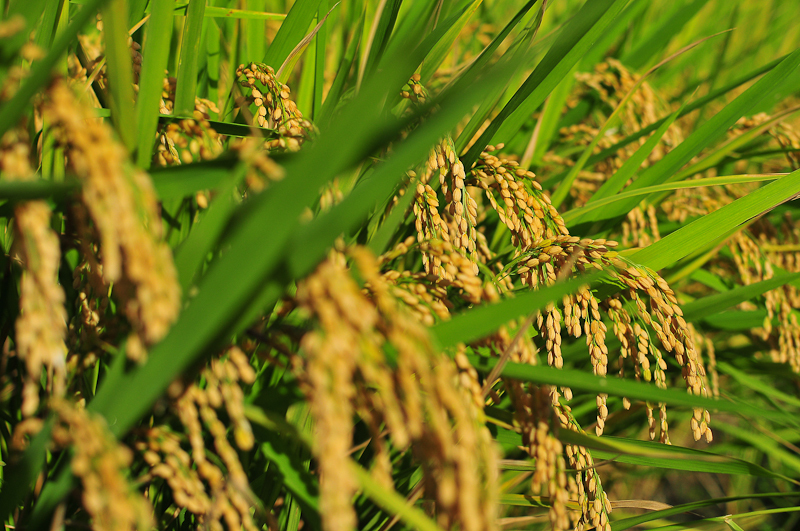 are a few weeks away from the harvest  and the rice is fattening upImages Of Rice Plant