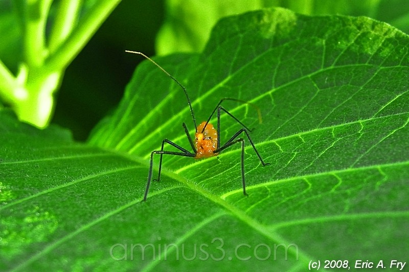 Assassin Bug 3