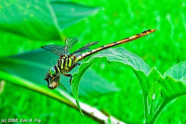 Dragonfly's Dinner