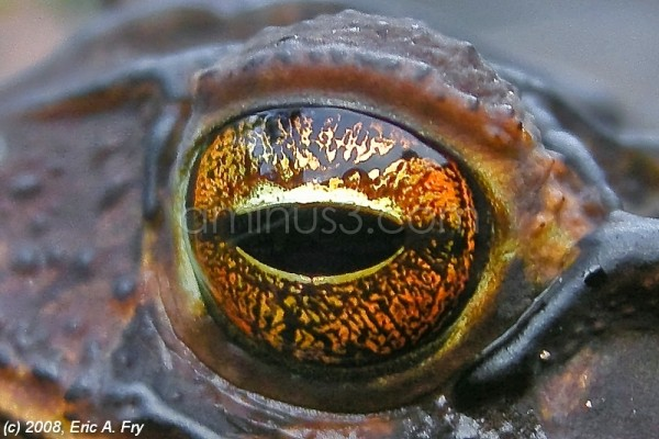 Toad Eye