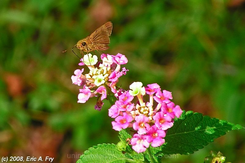 Ocola Skipper on Lantana