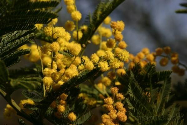 Acacia Dealbata