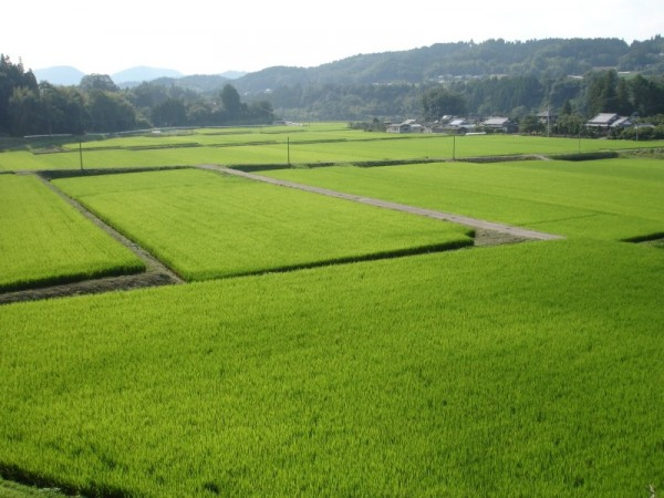 Rice field of summer , bungoono 15:54