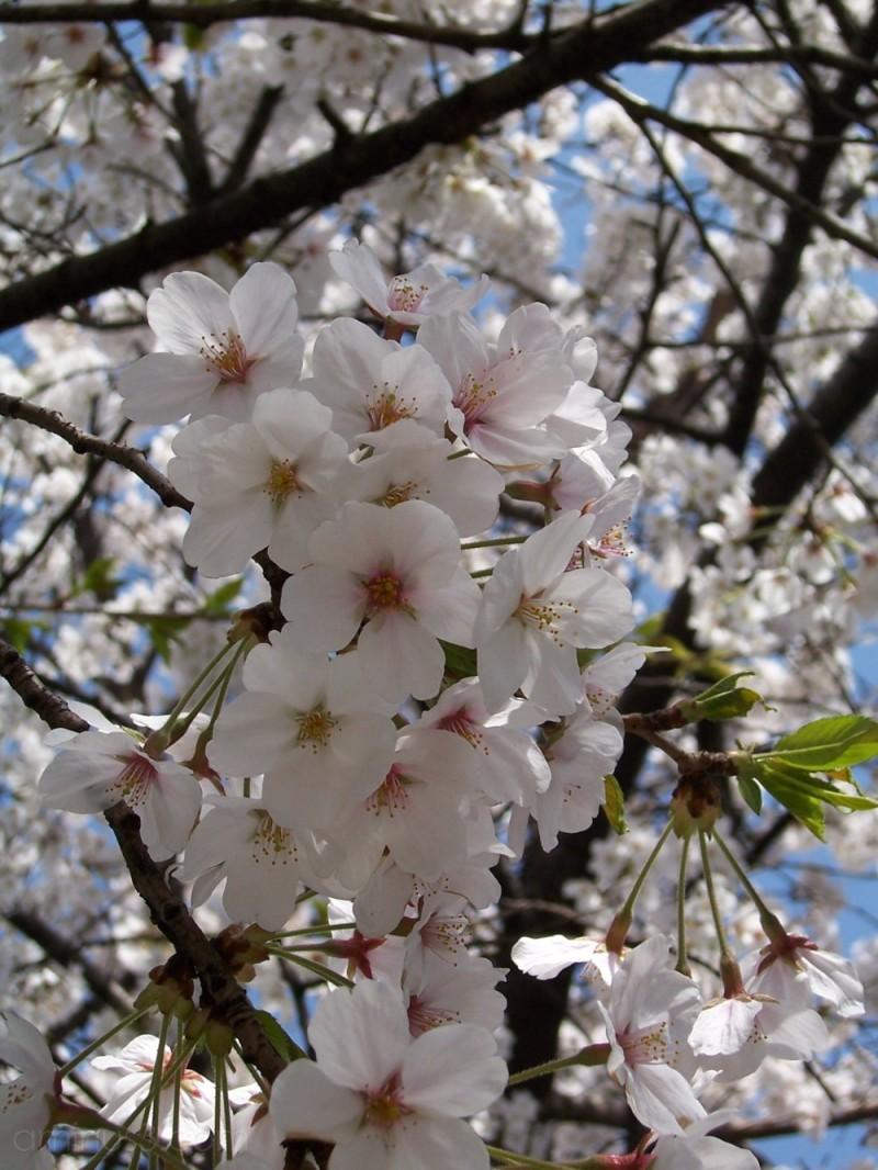 Cherry Blossum Trees in Yeouido, Seoul