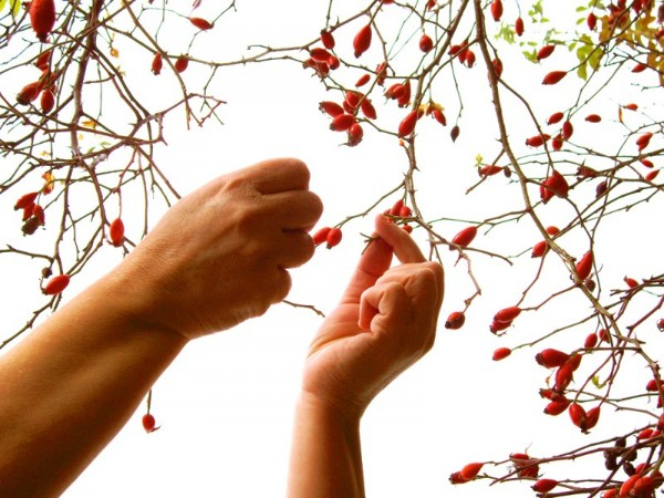 Picking rose hips