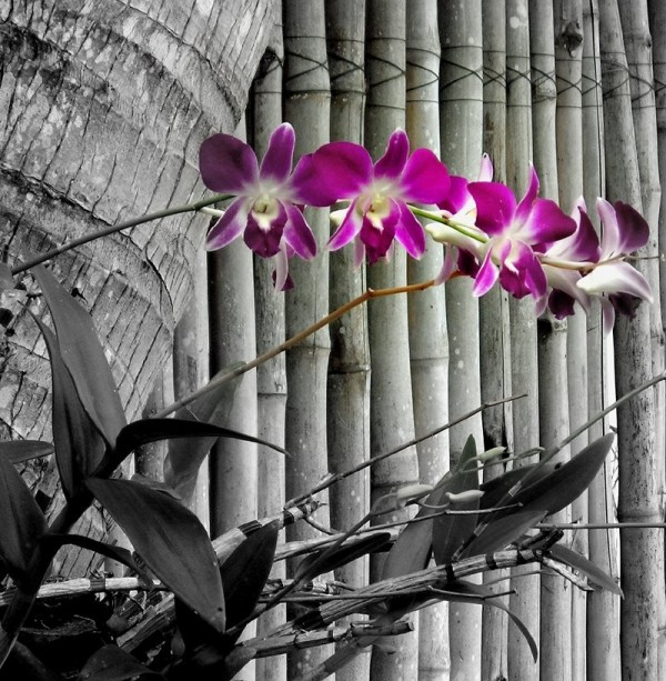 Orchids - Koh Phangan, Thailand