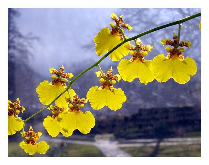 Orchids - Cigel, Slovakia