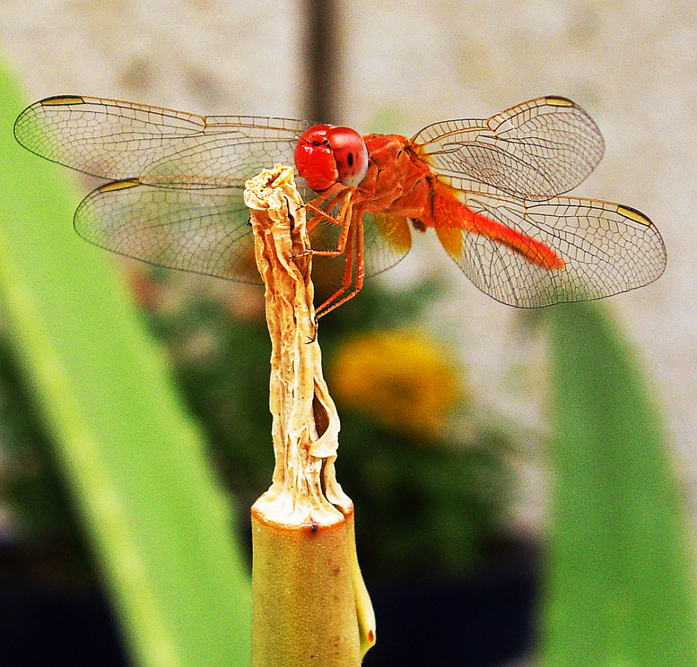 dragonfly cactus