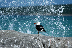 Langebaan - Sea Gull