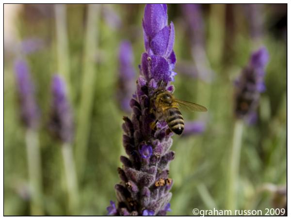 garden lavender bee