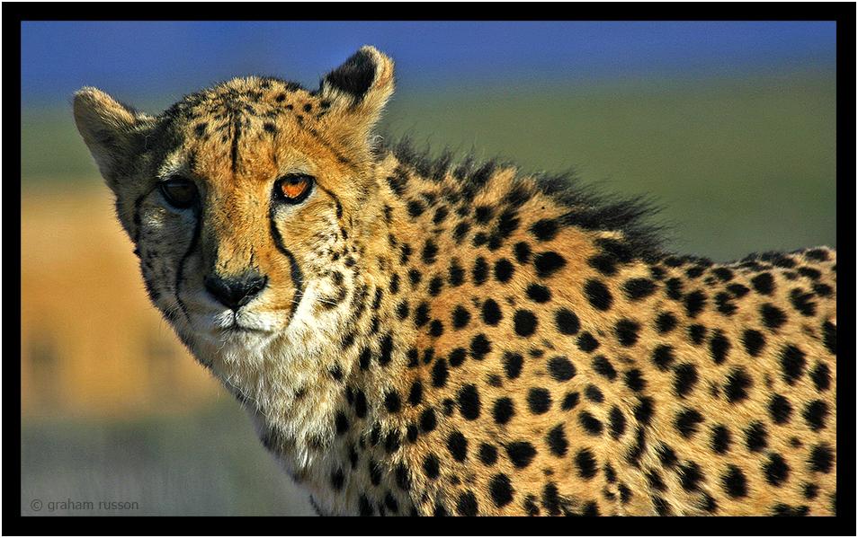 Inverdoorn Cheetah