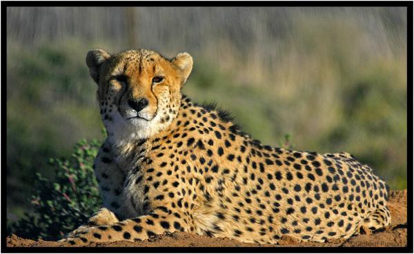 cheetah inverdoorn