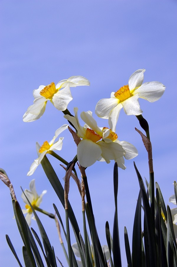 singing daffodils