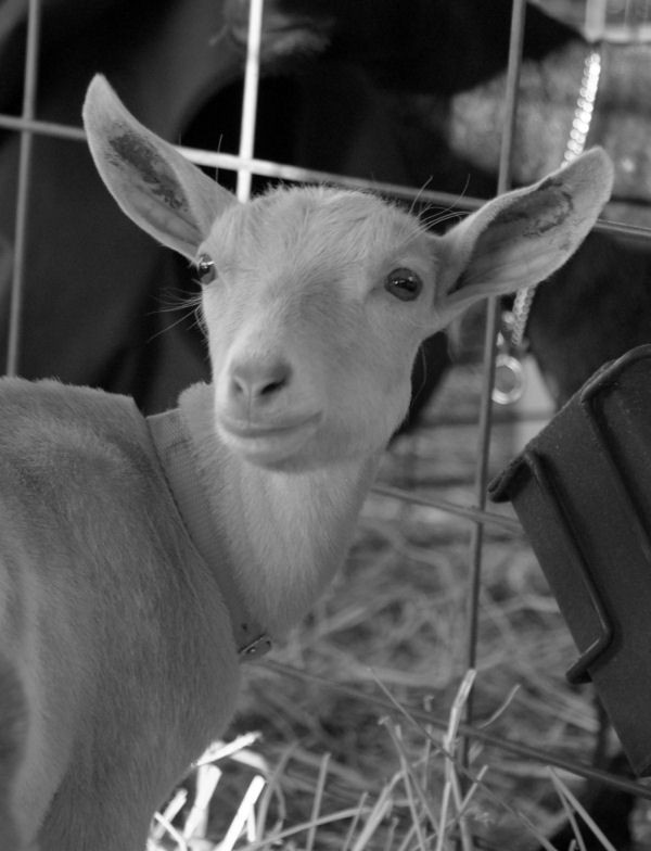 county fair - goat