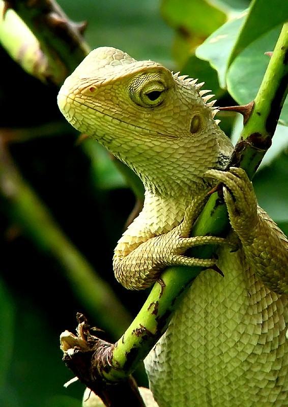 Standing Lizard