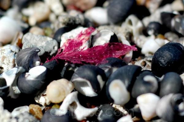 Beach shells Australia