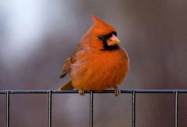 Who doesn't love a cardinal?