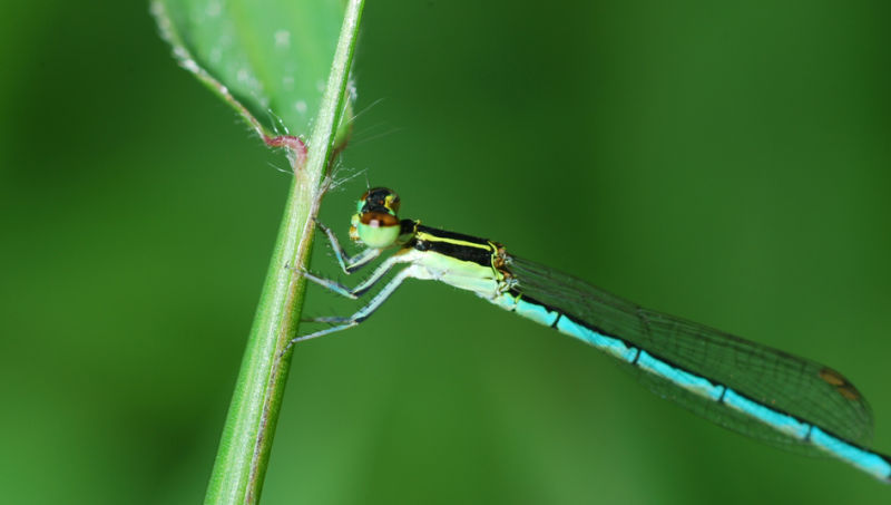 blue damselfly of singapore