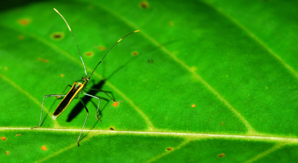 singapore insect