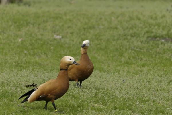 oiseau upie drome 26