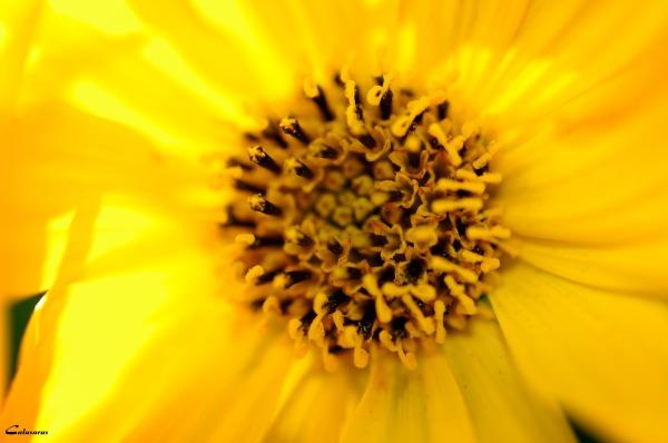 Fleur Macro Pizancon Drome 26