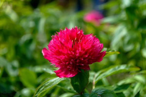 Fleur Drome Crest