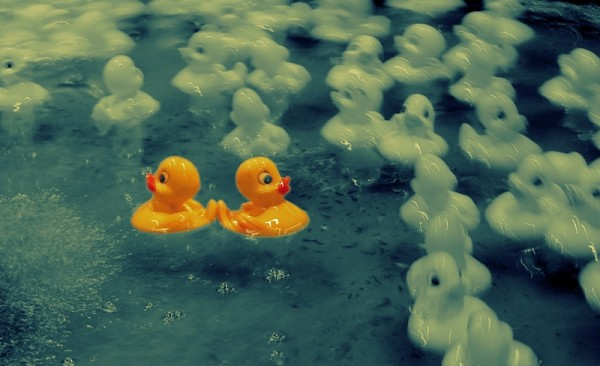 Rubber Duckies Posing as Swans