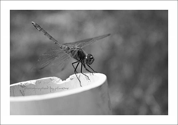 Dragonfly in Black & White