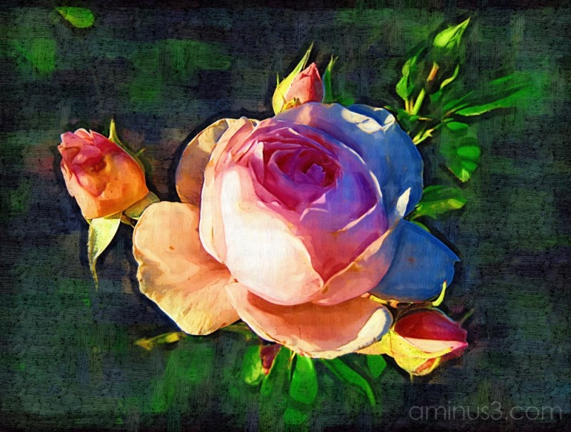 Rose in oils