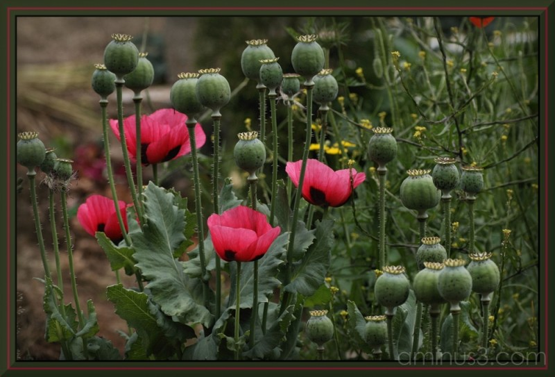 Touch of pink - Poppies ii