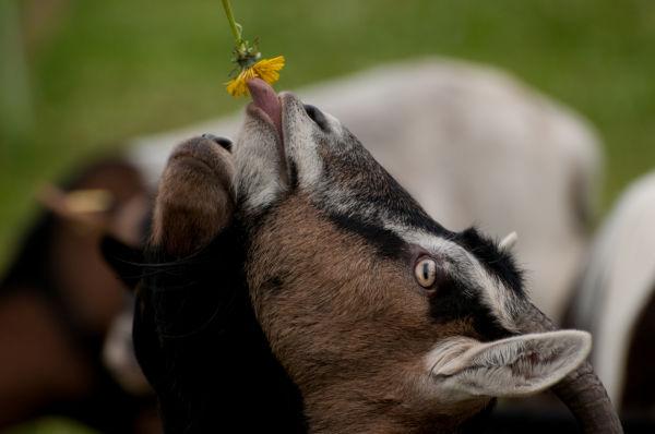 Gourmande comme une chèvre...